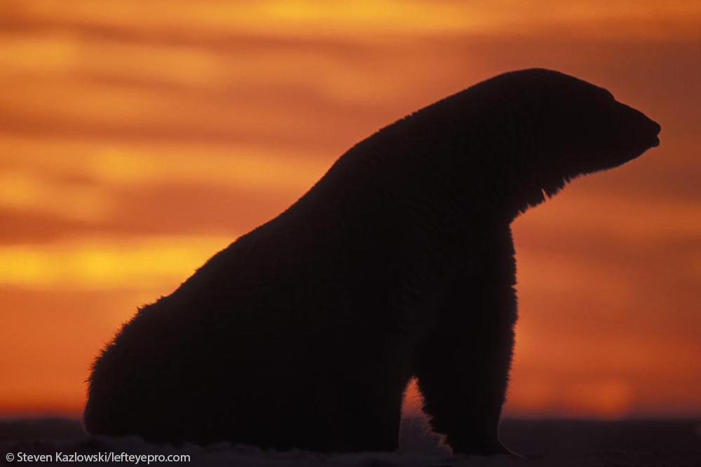 adult profile sunset color glowing sitting bear