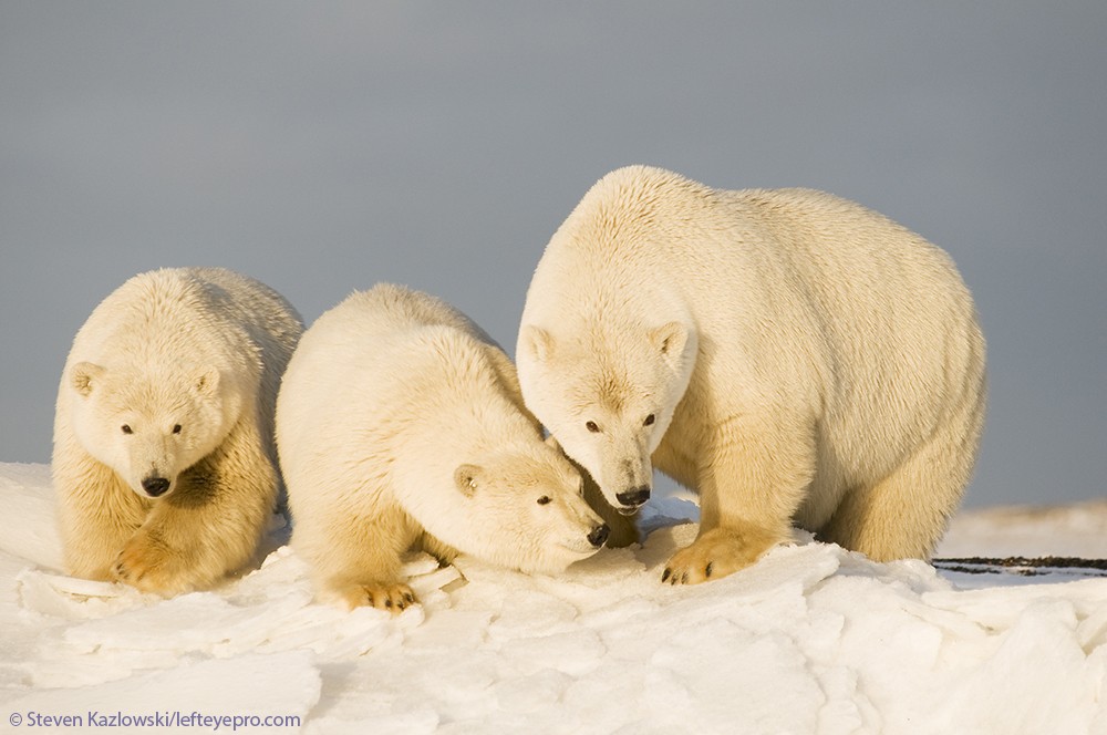 sow cubs