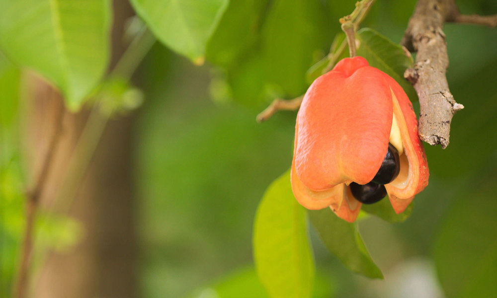 Fresh ackee waiting to be plucked.