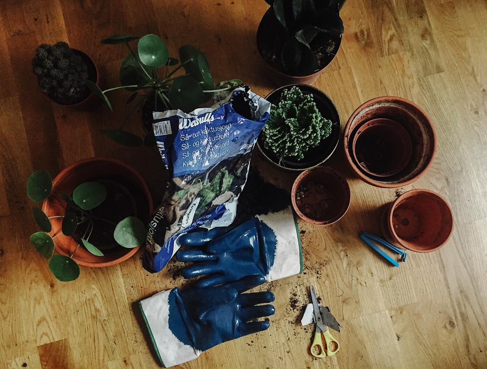 Plantering av kaktus elefantöra och växter hemma