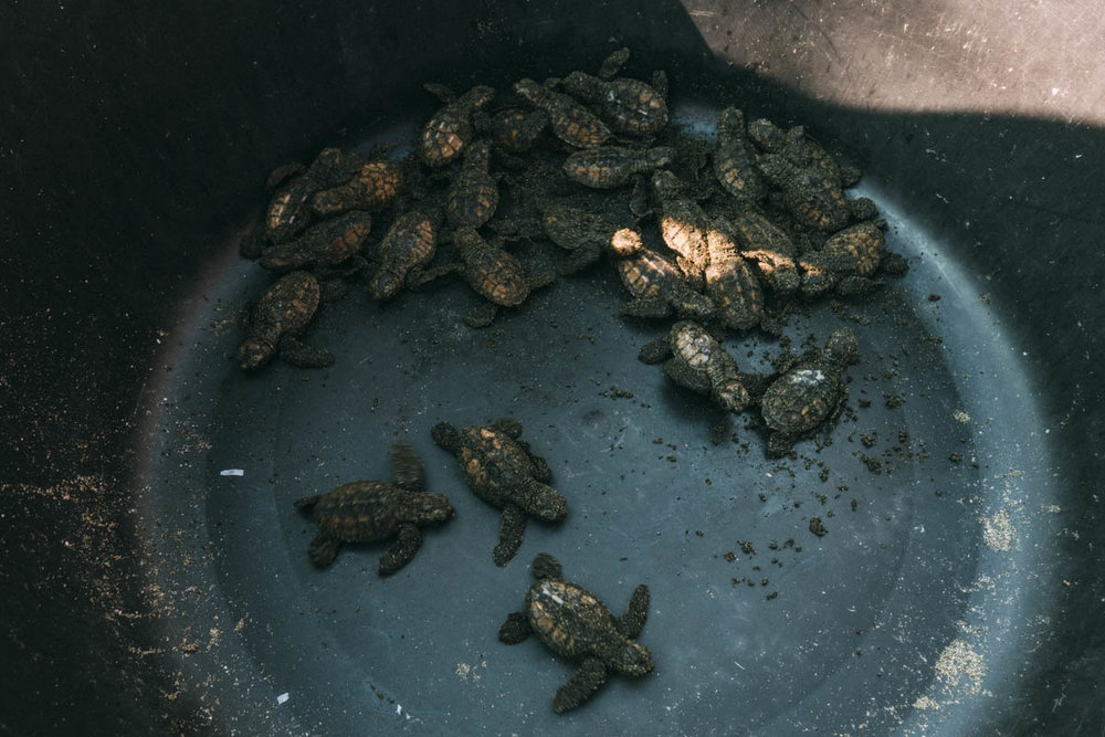 se och rädda havsskölpaddor i Nicaragua på Sea turtle rescue i Jiquilillo