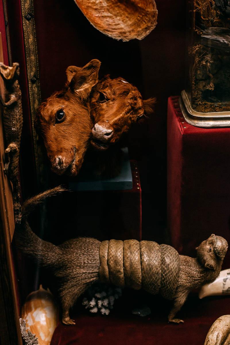 Siamesiska kohuvud på Göteborgs Naturhistoriska museum