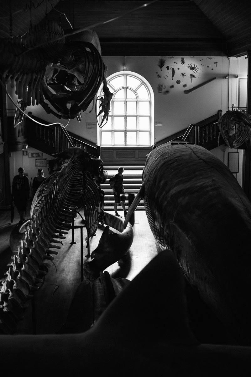 Uppstoppad val på Göteborgs Naturhistoriska museum