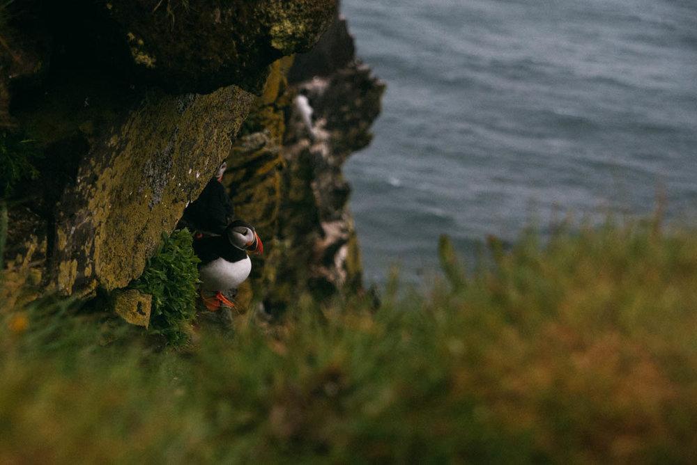 Fotografera och fågelskådning av lunnefåglarna på Latrabjarg Island.