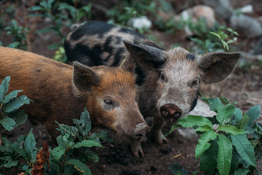 grisar på ön lindö som drivs av nathalie nylen bakom bloggen att leva sin dröm