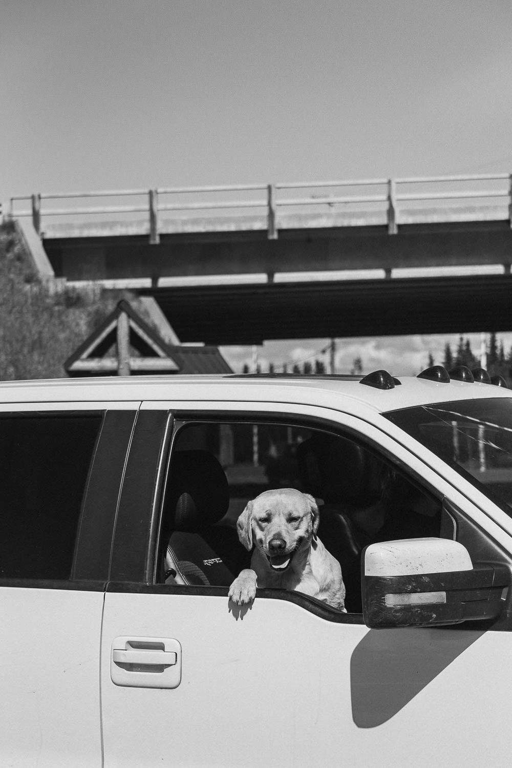 hund tittar ut från fönster på en bil i alaska usa
