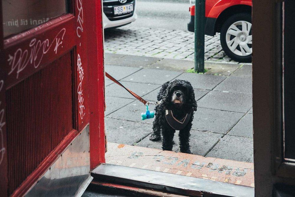 hund i Reykjavik