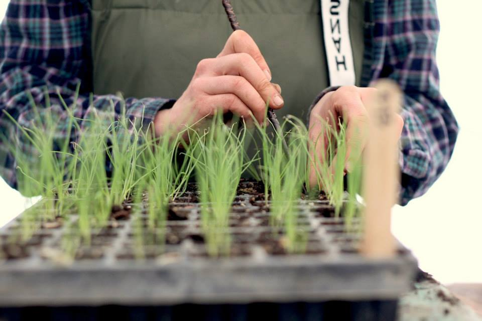 thinning onion seedlings.jpg