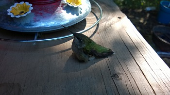 a hummingbird that was nursed back to health in the garden