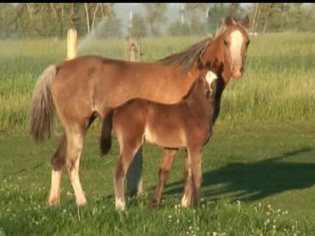 jacob_2010b_welsh_pony_colt.jpg