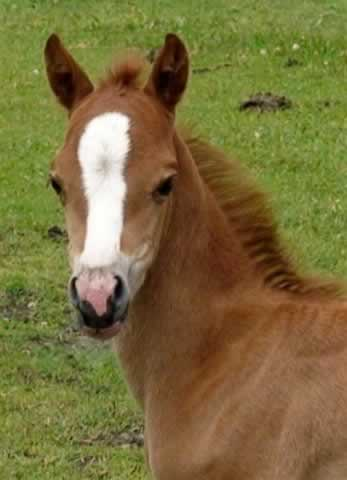 esme_welsh_pony_2009bfilly.jpg