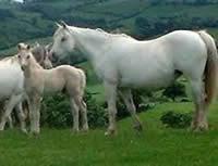 *Bronheulog Antonia and *Bronheulog Armani's dam in Wales