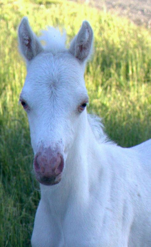 Evans Katrin Of Blue  (Clanfair Mirabeau x Evans Tiger Lily)  Cremello Section B Filly. SOLD