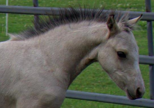 Evans Mischka (Clanfair Mirabeau x Evans Elane) Buckskin Section B Filly ~ For Sale