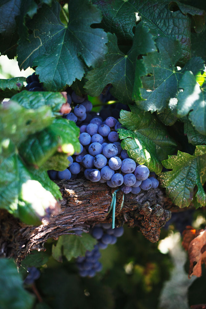 Salvan grape stomp