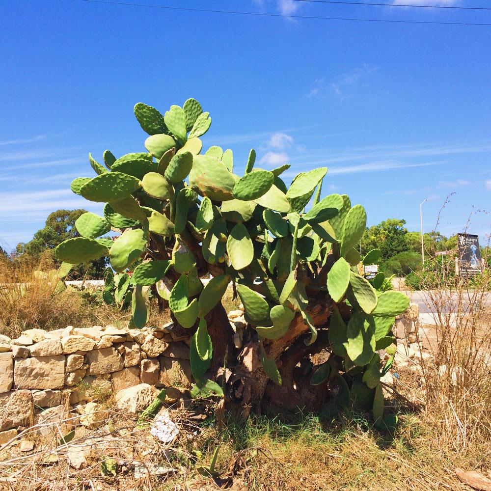 Cactus in Malta | freckleandfair.com