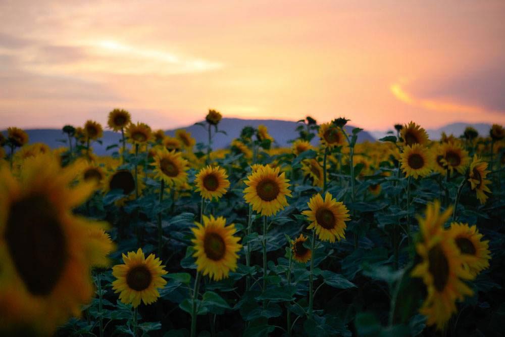 Sunflower fields in Vicenza