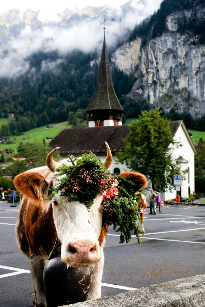 The Alpine cattle descent in Lauterbrunnen and a guide to the Bernese Alps of Switzerland | freckleandfair.com