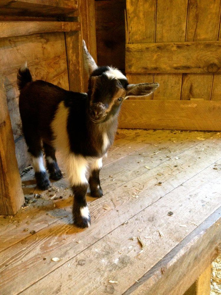 shilo farm-goat.jpg