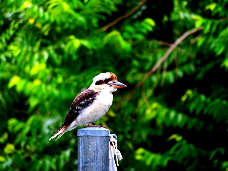 Our favourite bird, the Kookaburra