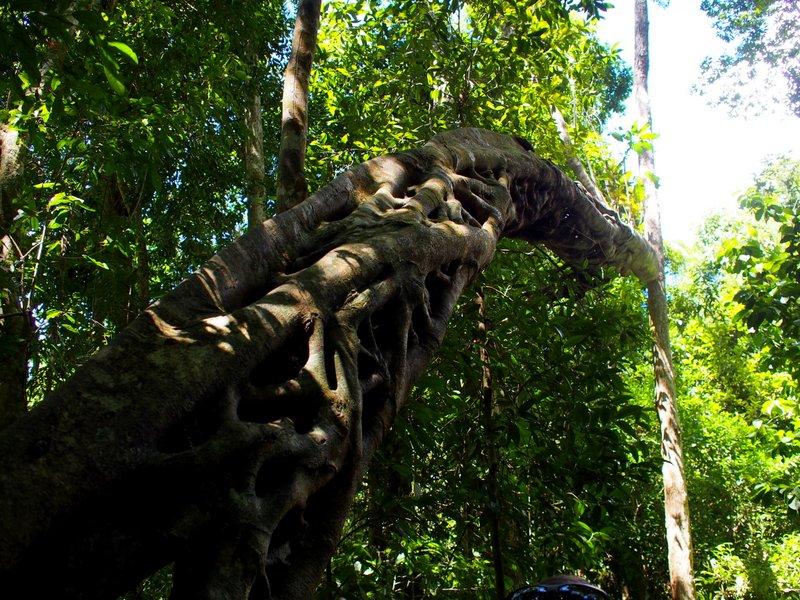 Large strangler fig