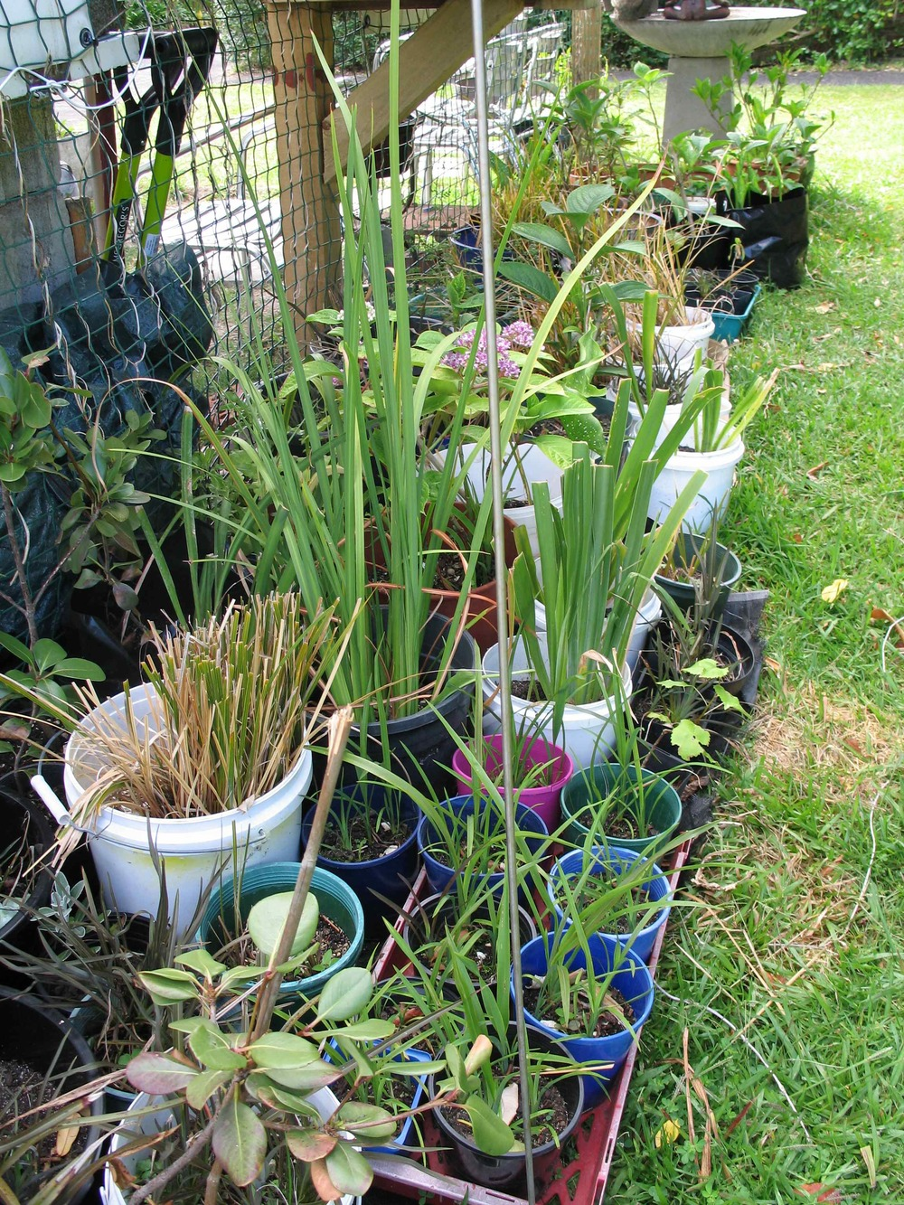 A mix of dietes, flaxes, Indian hawthorn that I grew from tiny seedlings I found in a park, brachyglottis and dichroa (a form of hydrangea) cuttings. These are just a few of the plants I have in my nursery waiting to go into my new garden.