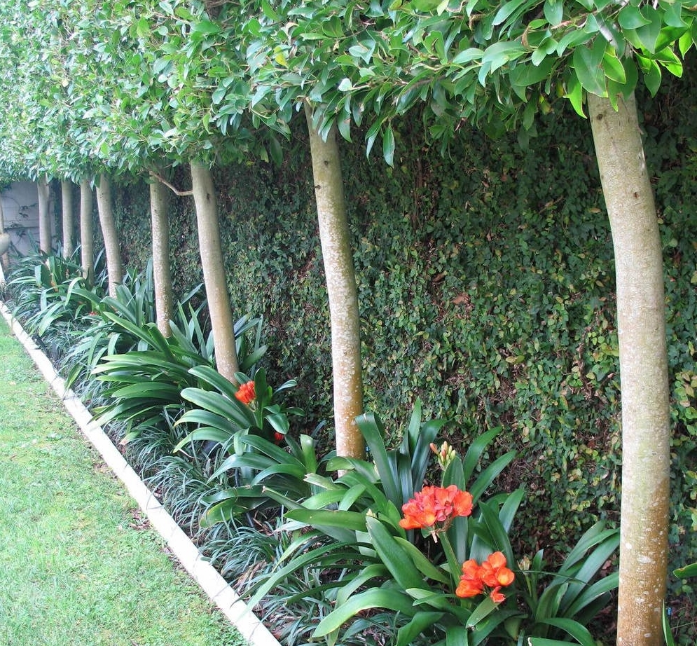 Clivia provide winter colour and Ficus pimula covers fences behind pleached trees