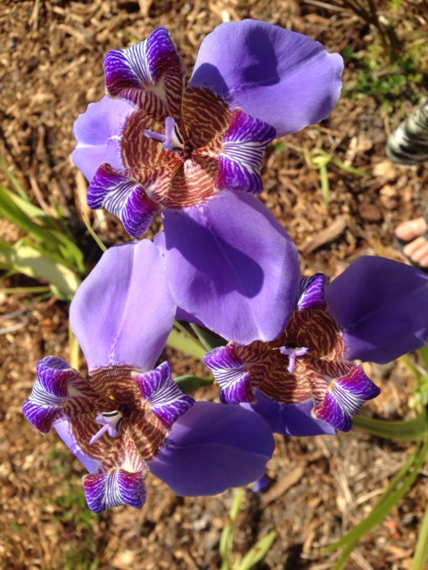Neomarica, an iris like perennial, flowering immediately after planting.