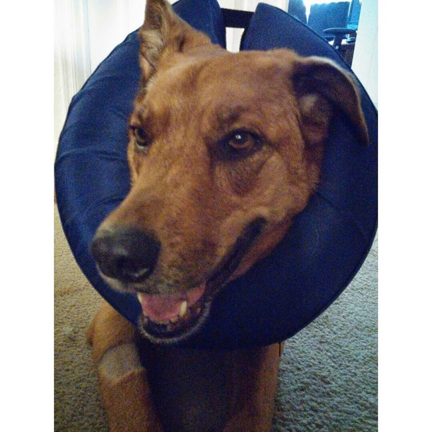 Ginger in the donut of shame...she was so naughty eventually we had to have her in this as well as the cone of shame!