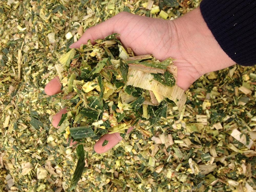Maize silage South Australia.jpg