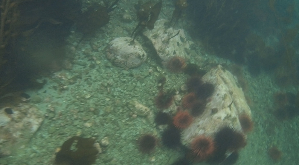 underwater langara island 2 (84).jpg