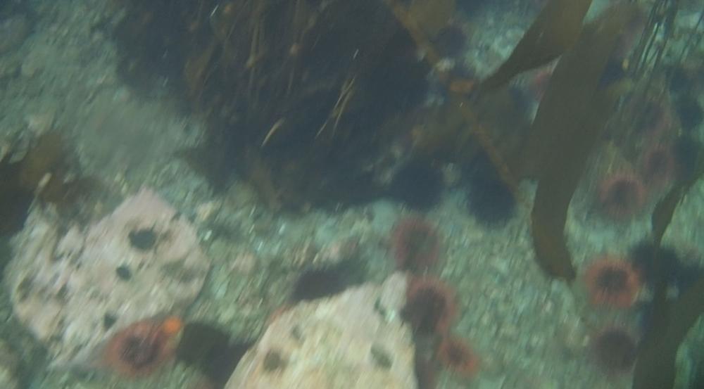 underwater langara island 2 (89).jpg