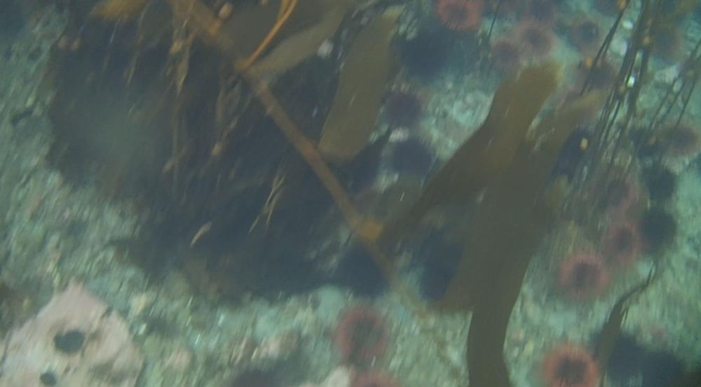 underwater langara island 2 (90).jpg