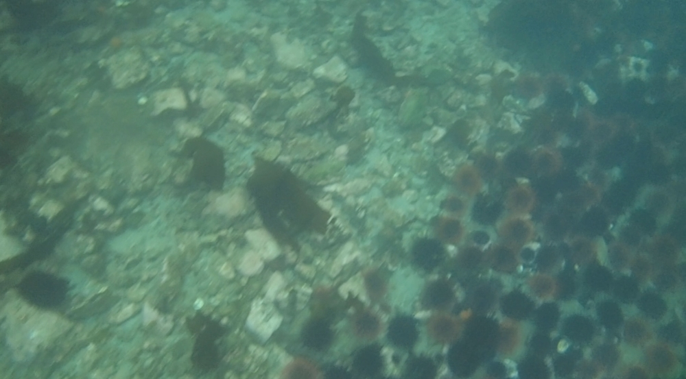 underwater langara island 2 (126).jpg