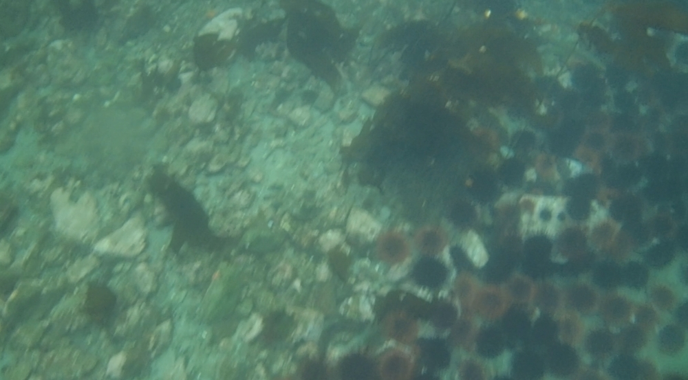 underwater langara island 2 (130).jpg