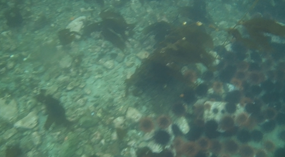 underwater langara island 2 (131).jpg