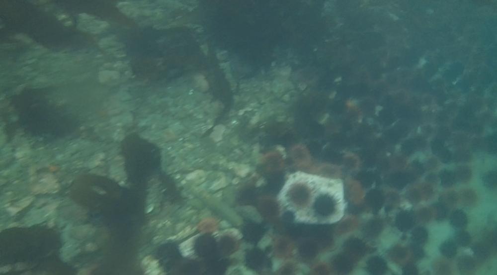 underwater langara island 2 (136).jpg