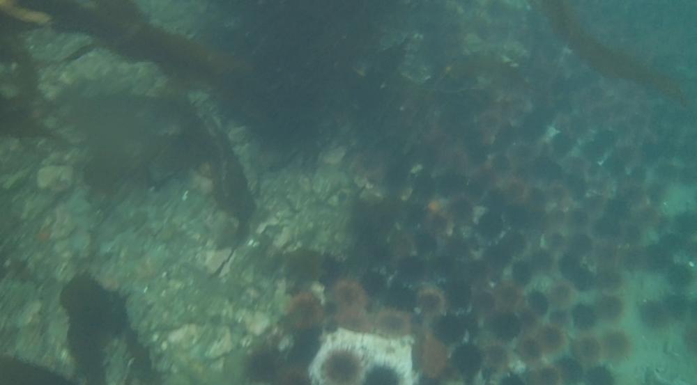 underwater langara island 2 (138).jpg