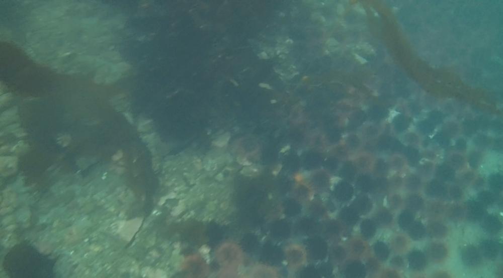 underwater langara island 2 (139).jpg