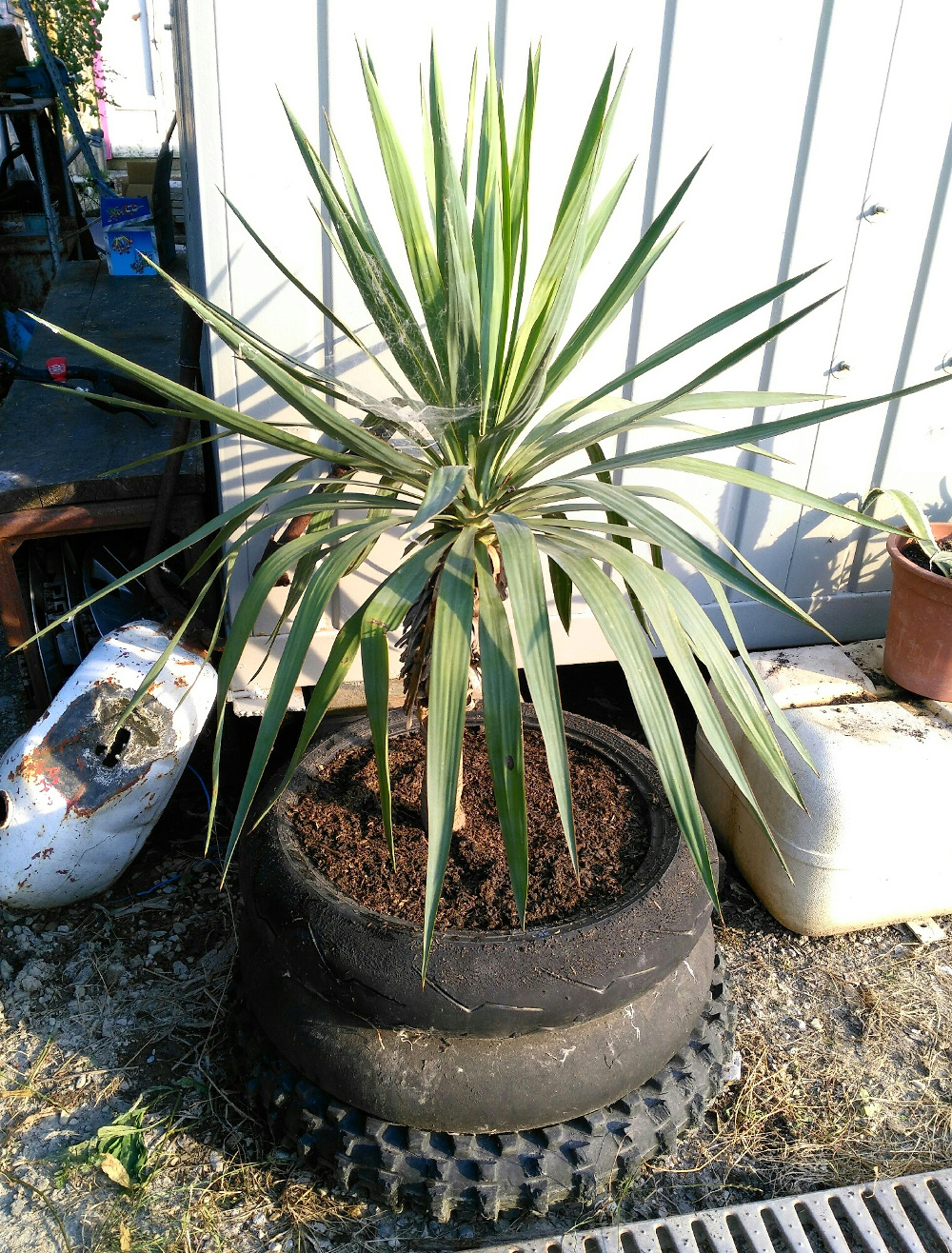 donated yucca plant