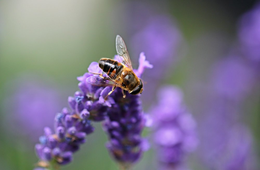 animal-animal-photography-bee-162367.jpg