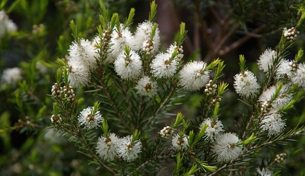 tea-tree_Eric-Hunt-Flickr-600x346.jpg