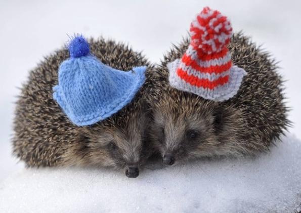 Sometimes it is wrong to resist pictures of hedgehogs in knitted hats. This is one of those times.