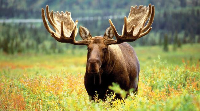 AlaskanMoose.jpg