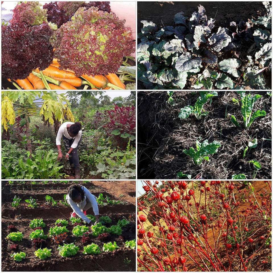 Mphatso tends her various crops including carrots, leafy greens, and hibiscus.