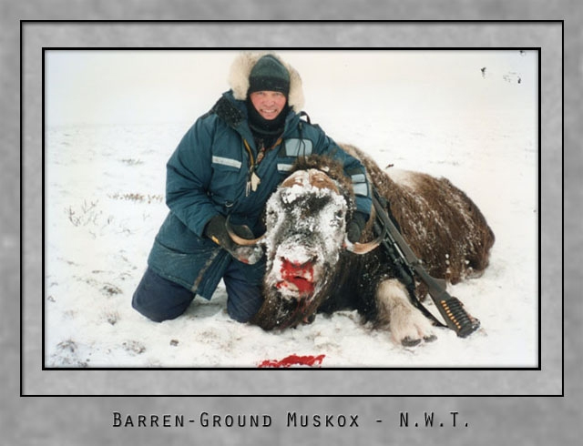 barren ground muskox.jpg