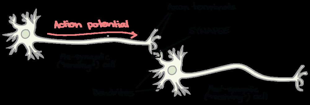Связь между нейронами называется синапс. Каждый синапс— это фактически устоявшийся навык. Хотите подробнее — прочитайте статью на сайте Академии Хана
