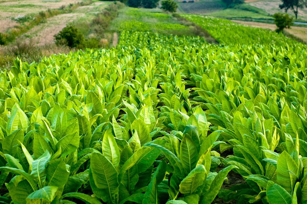 GTI has experience in assisting clients in the tobacco industry to select the right packaging and equipment and optimize production and automation, preserve quality and ensure value.