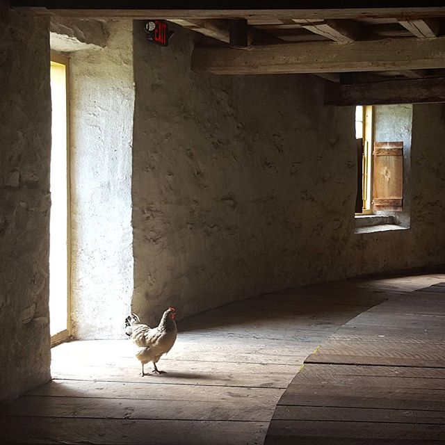 A real poser. #chicken #farm #shakervillage #barn #berkshires #summer #vacation