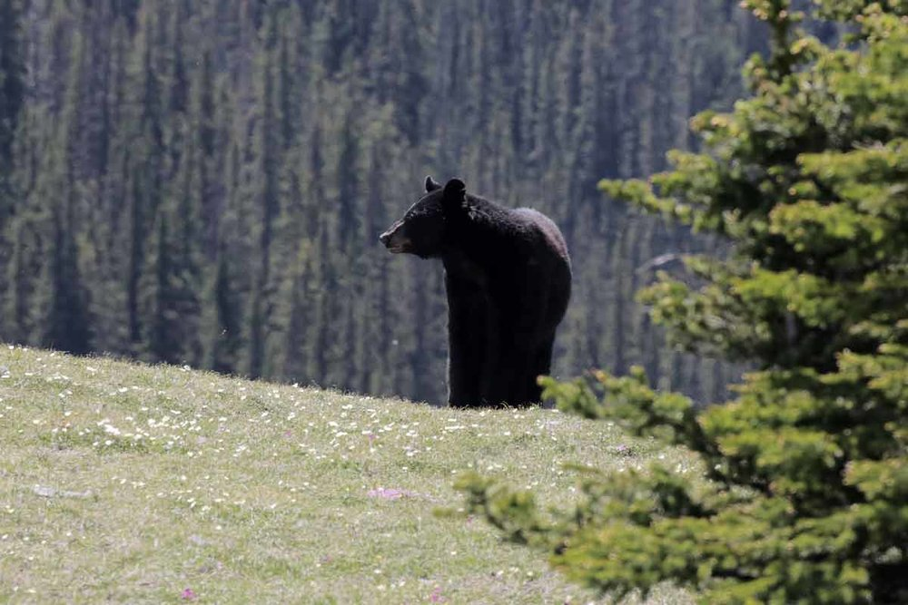 Black bear at west wind pass